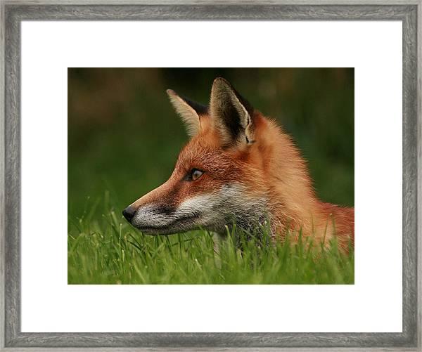 Yearling Fox Framed Print