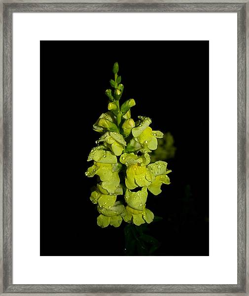 Yellow Snapdragons Framed Print