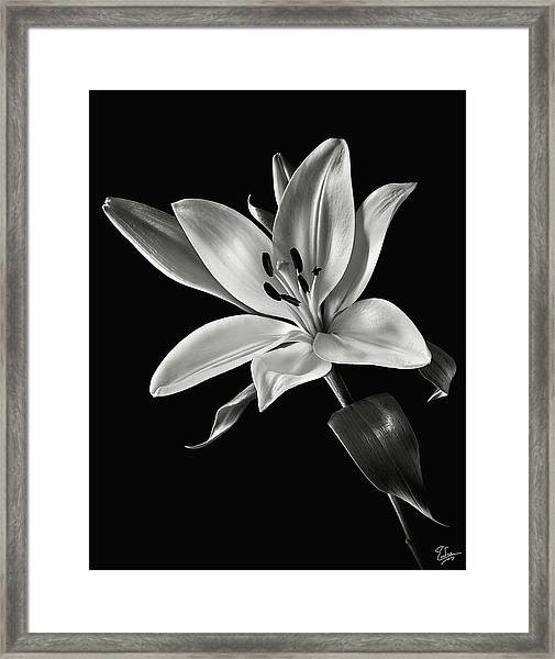 Yellow Tiger Lily In Black And White Framed Print