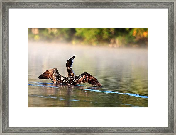 Young Loon Framed Print