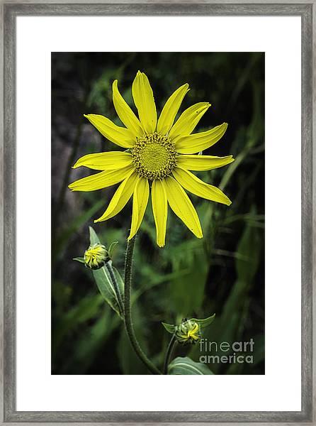Arnica Montana Framed Print