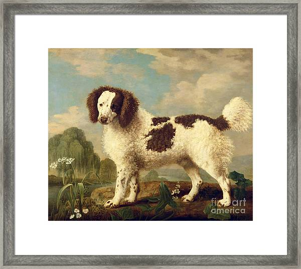 Brown And White Norfolk Or Water Spaniel Framed Print