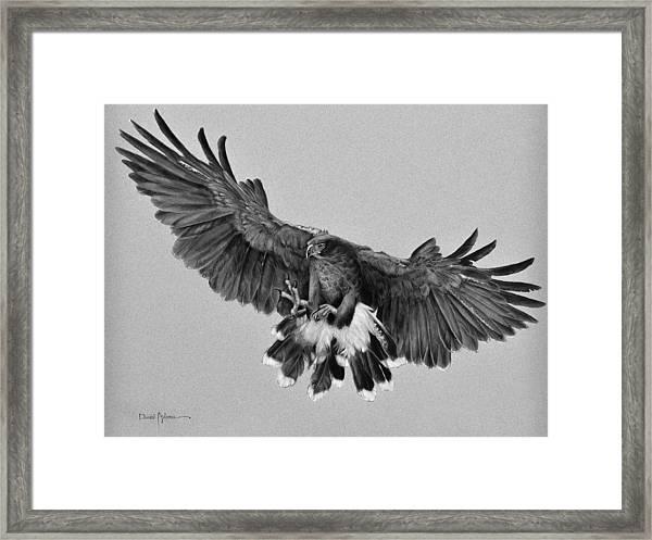 Da181 Harris's Hawk By Daniel Adams Framed Print