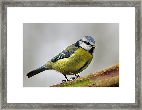 Blue Tit Framed Print
