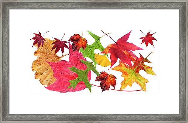 A Collage Of Leaves In Full Fall Colour. Framed Print