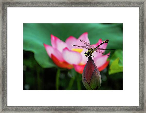 A Dragonfly On Lotus Flower Framed Print
