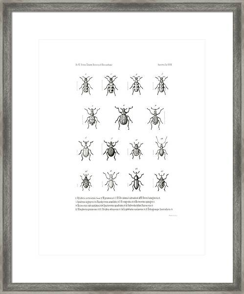 Framed Print featuring the drawing African Beetles by Bernhard Wienker