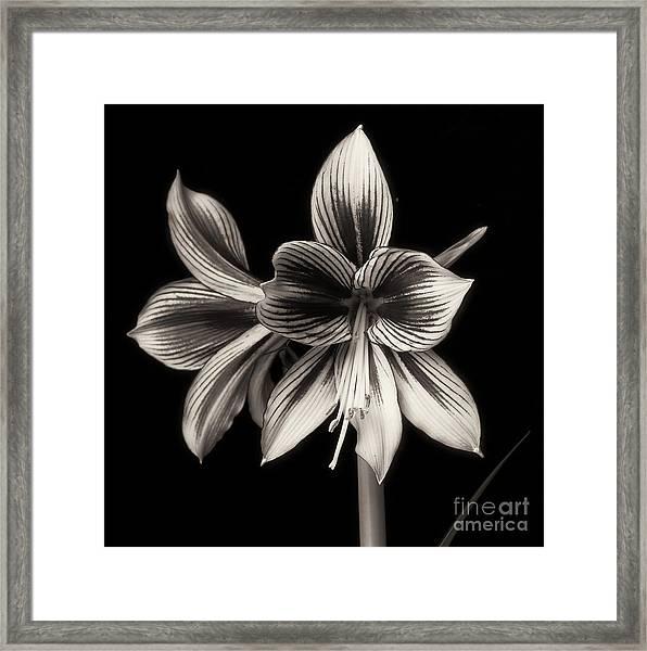 Amaryllis 'papilio Improved' Framed Print