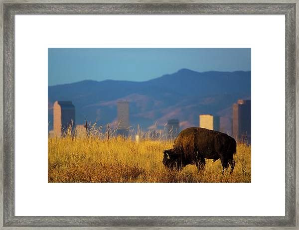 Framed Print featuring the photograph American Bison And Denver Skyline by John De Bord