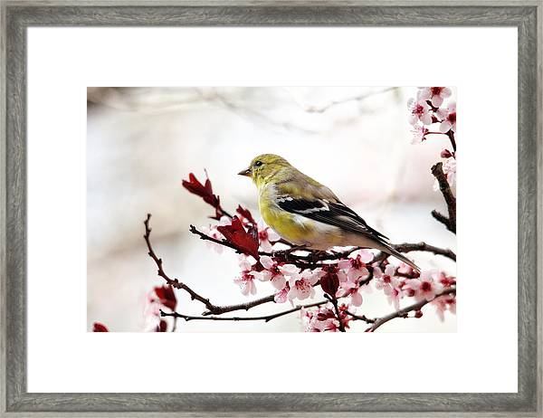 American Goldfinch In Spring Framed Print