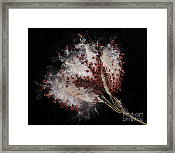 Asclepias Currasavica--seed Pod Framed Print