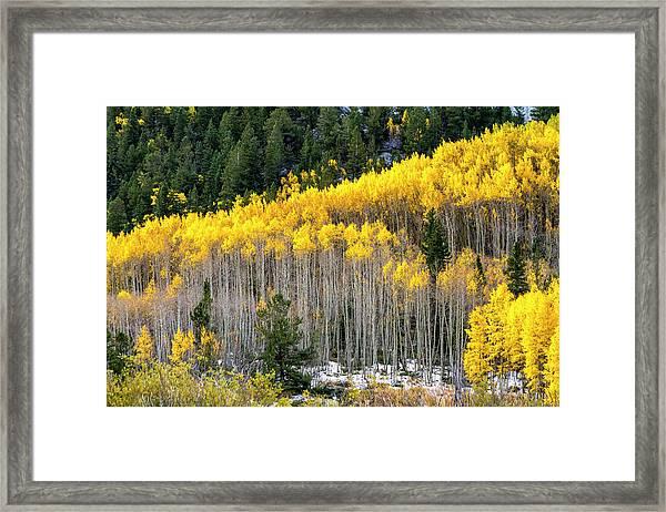 Aspen Trees In Fall Color Framed Print