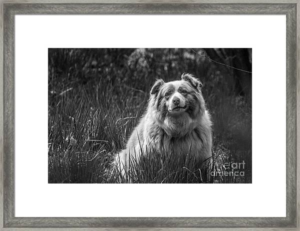 Australian Shepherd Dog Framed Print