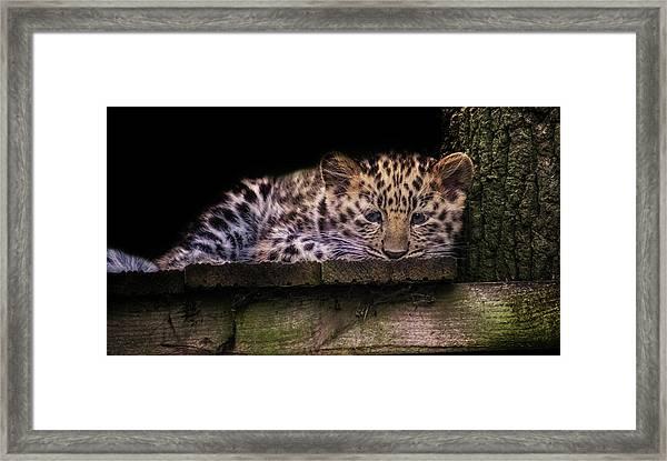 Baby Amur Leopard Framed Print