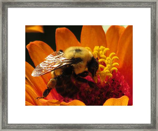 Bee With Zinnia Framed Print