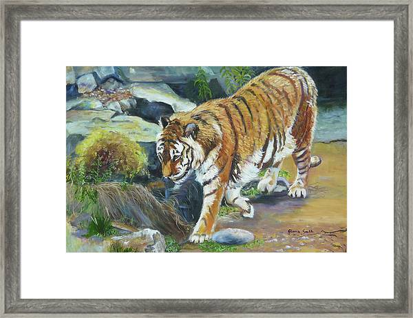 Bengal Tiger Framed Print by Gloria Smith
