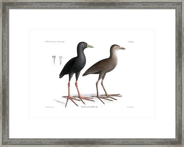 Framed Print featuring the drawing Black Crake, Zapornia Flavirostra by J D L Franz Wagner