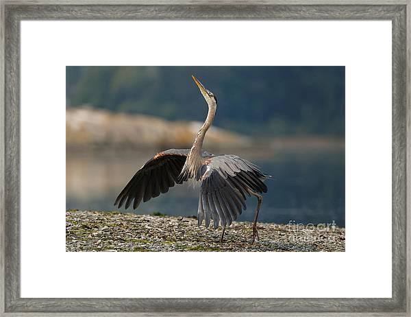 Blue Heron Dance Framed Print