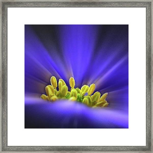 blue Shades - An Anemone Blanda Framed Print