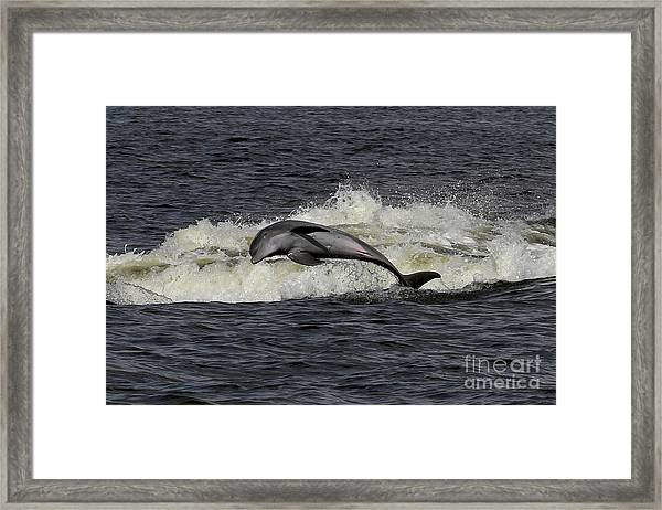 Bottlenose Dolphin Framed Print