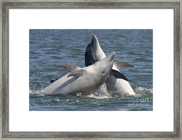 Bottlenose Dolphins  - Scotland  #15 Framed Print