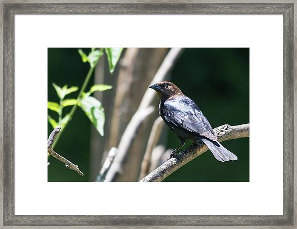 Brown-headed Cowbird Framed Print