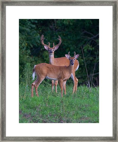 Framed Print featuring the photograph Buck Father And Son by William Jobes