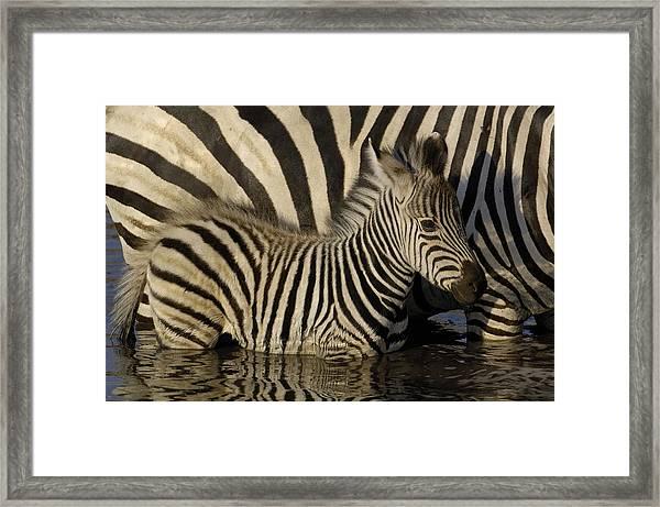 Burchells Zebra Equus Burchellii Foal Framed Print