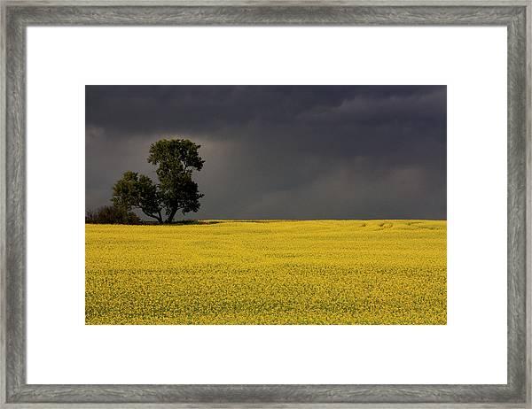 Canola Storm Framed Print
