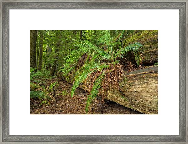 Cathedral Grove Framed Print