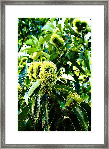 Chestnut Tree Framed Print by Michael C Crane
