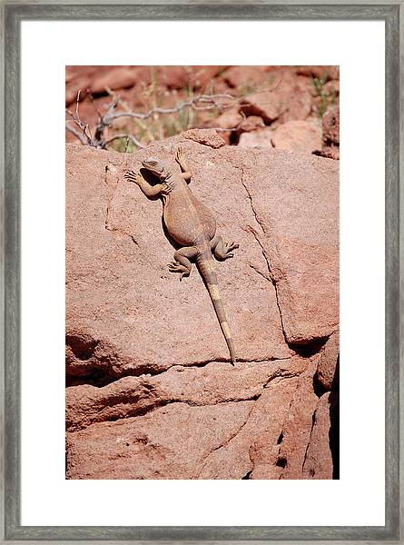Framed Print featuring the photograph Chuckwalla, Sauromalus Ater by Breck Bartholomew