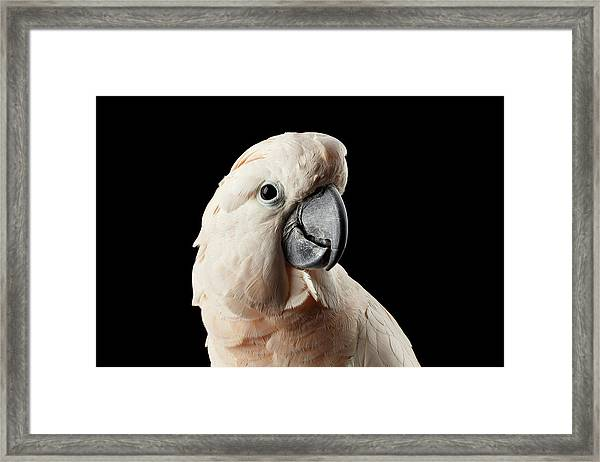 Closeup Head Of Beautiful Moluccan Cockatoo, Pink Salmon-crested Parrot Isolated On Black Background Framed Print