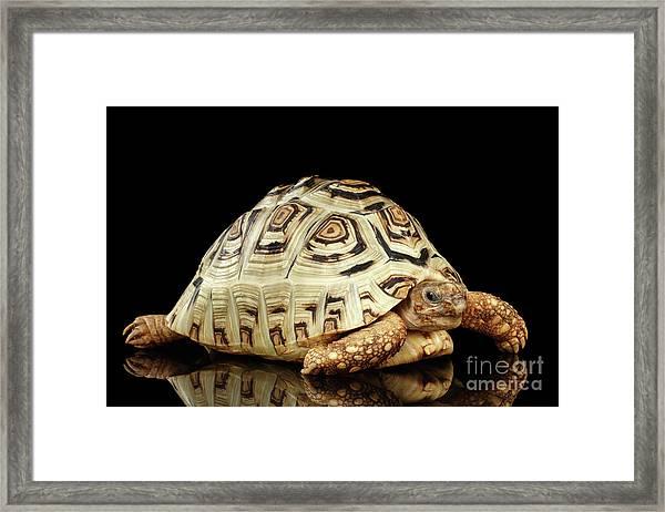 Closeup Leopard Tortoise Albino,stigmochelys Pardalis Turtle With White Shell On Isolated Black Back Framed Print