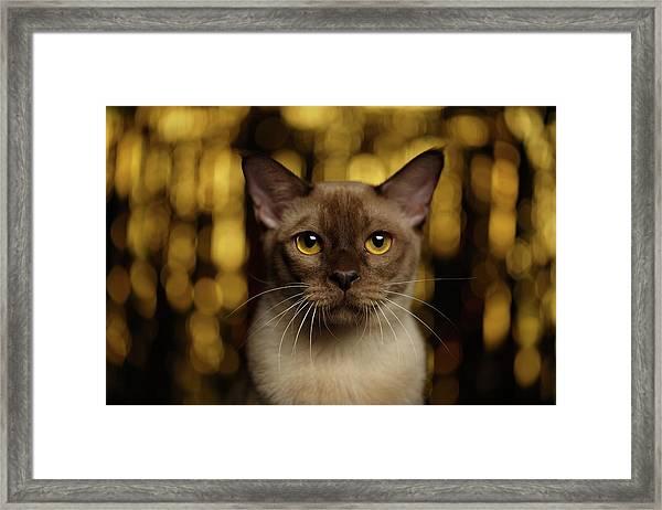 Closeup Portrait Burmese Cat On Happy New Year Background Framed Print