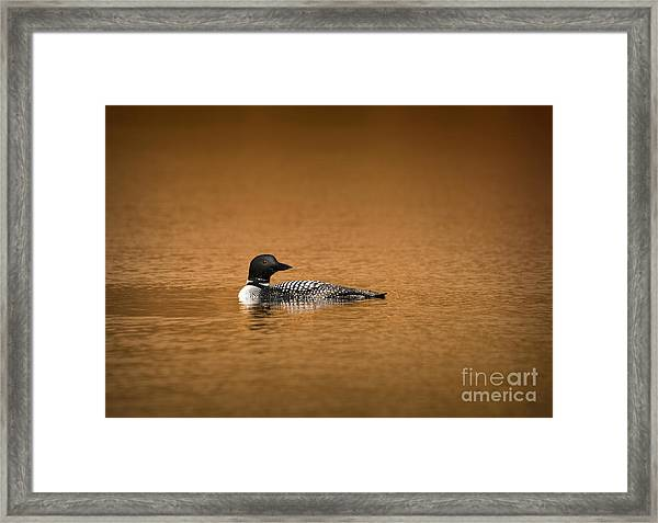 Common Loon Framed Print