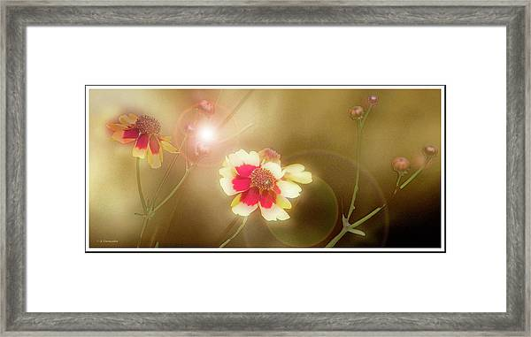 Coreopsis Flowers And Buds Framed Print