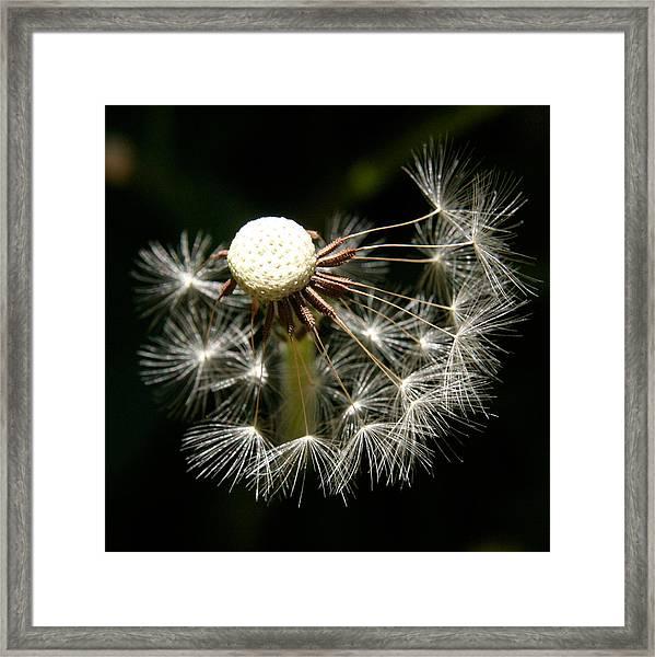 Dandelion Framed Print by PIXELS  XPOSED Ralph A Ledergerber Photography