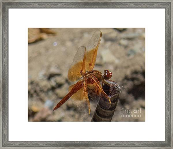 Dragonfly 18 Framed Print