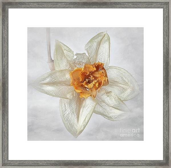 Dried Narcissus Framed Print