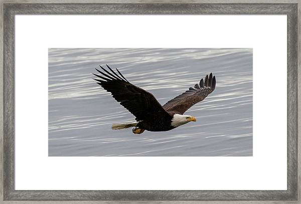Eagle Soaring Over The Ocean Framed Print