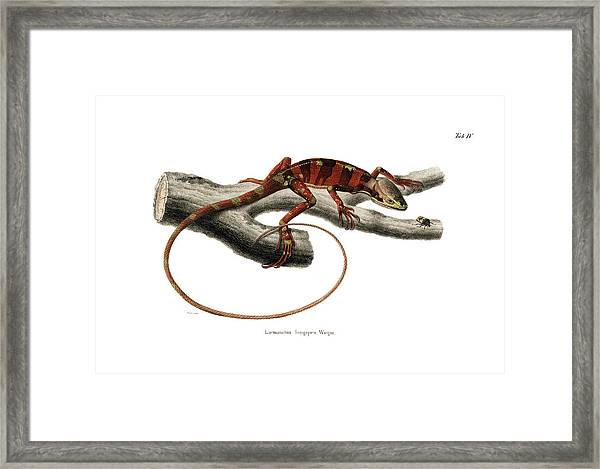 Framed Print featuring the drawing Eastern Casquehead Iguana, Laemanctus Longipes by Carl Wilhelm Pohlke