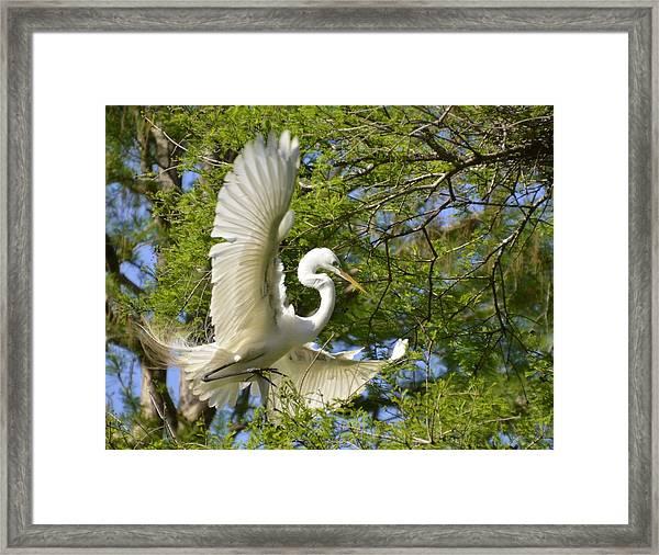 Egret Landing Framed Print