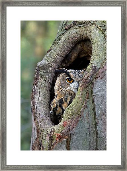 Eurasian Eagle-owl Bubo Bubo Looking Framed Print