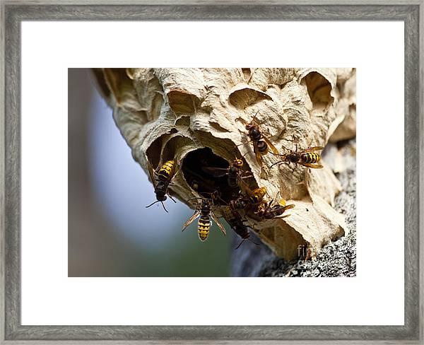 European Hornets Framed Print