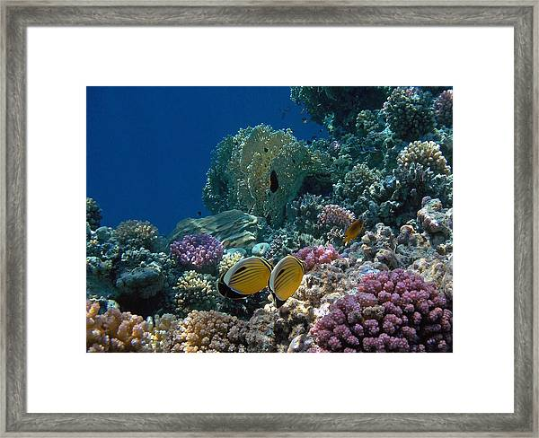 Exquisite Butterflyfish In The Red Sea Framed Print