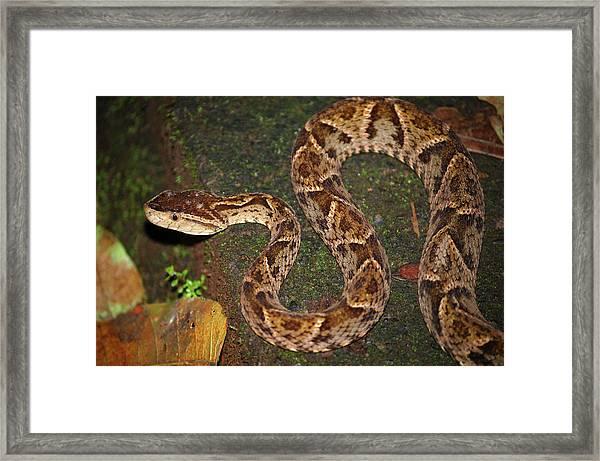 Framed Print featuring the photograph Fer-de-lance, Bothrops Asper by Breck Bartholomew