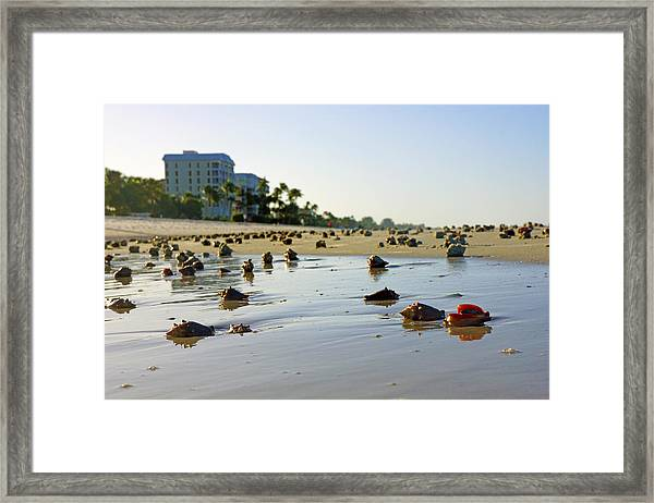 Fighting Conchs On The Beach In Naples, Fl Framed Print
