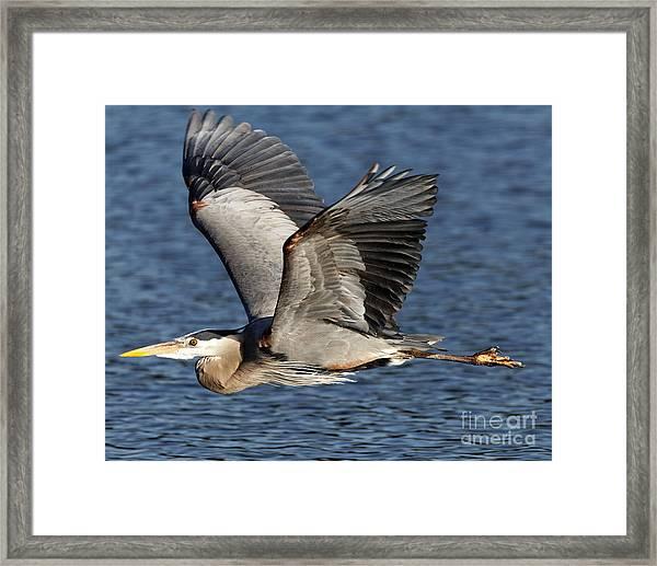 Flight Of The Great Blue Heron Framed Print