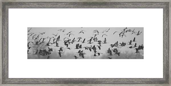 Flight Of The Sandhill Cranes Framed Print